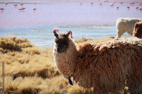 Staande foto Lama Lama reserve naturelle Eduardo Avaroa sud Lipez Bolivie