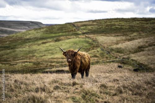 Deurstickers Schotse Hooglander A Highland cow grazing on moorland in the Peak District National Park, Derbyshire, UK