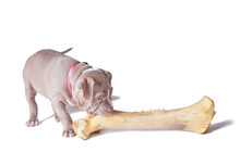 A Small Puppy (one And A Half Months Old) Of The American Pit Bull Terrier Gnaws Large Bone. Isolated On White Background
