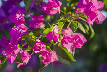 Closeup Of Bright Red Bougainv...