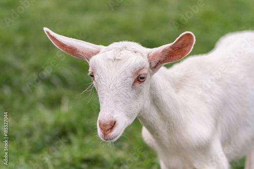 Saanen goat kid - Buy this stock photo and explore similar