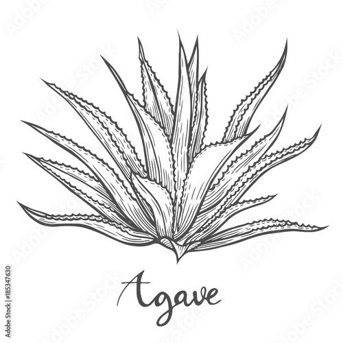 Photo Hand drawn blue agave