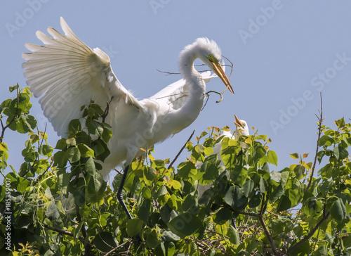 Αφίσα  Great egter (Ardea alba) brought a stick for the nest, High Island, Texas, USA