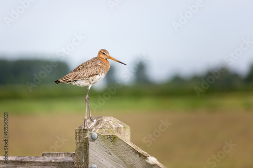 Poster Nature The sitting Godwit