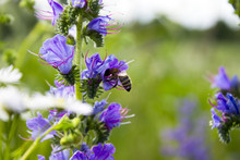 Blue Flowers In Nature. Bee On...