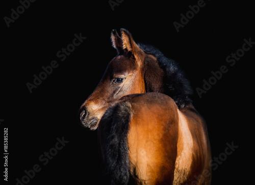 Newborn foal posing for portrait on a black background Canvas Print