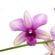 sternförmige Orchideenblüten in weiß-violett-gestreif