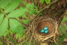 Three Blue Eggs In The Nest On...