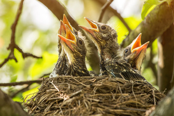 FototapetaFour сhicks in a nest closeup on a tree branch in spring
