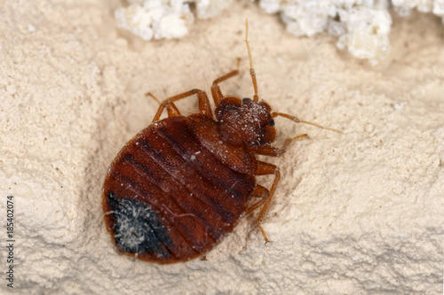 Bed bug Cimex lectularius parasitic insects of the cimicid family feeds on human Poster Mural XXL