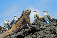 Marine Iguana With Blue Footed...