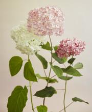 Three White & Pink Hydrangeas