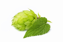 Fresh Branch Of Hops Isolated.
