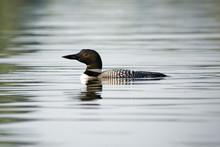 Loon Swimming In Canadian Lake