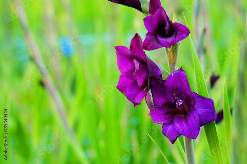 Fotografering Deep violet Gladiolus flower in field and garden farm