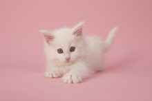 Cute White Main Coon Baby Cat ...