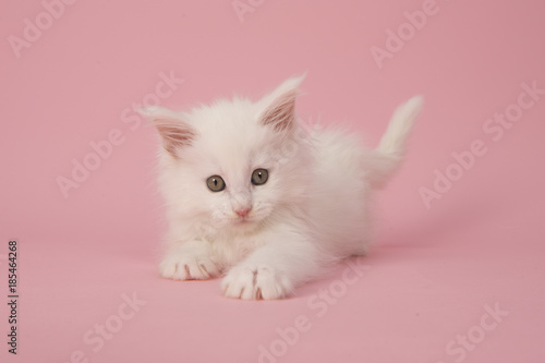 Fényképezés  Cute white main coon baby cat kitten playing on a pink background