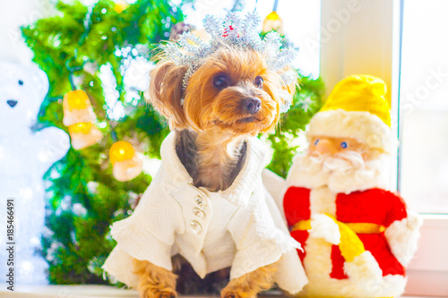 Fototapety, obrazy: Yorkshire terrier dressed in white dress with glowing bear and Father Frost near the pine Christmas and new year's eve in yellow tones