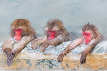 Three Japanese Snow Monkey Ons...