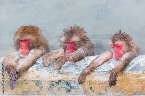 three Japanese snow monkey onsen (macaques) in the pool in winter