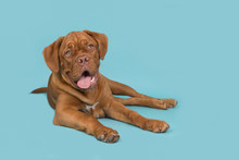 Cute Dogue De Bordeaux Dog Lying Down On A Blue Background