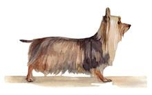 Австралийский шелковистый терьер - рисунок акварелью на белом фоне