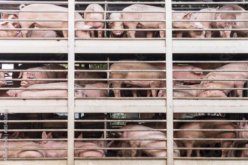 Fotografia, Obraz plenty pigs during transport by truck