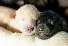 Two Newborn Puppies Together