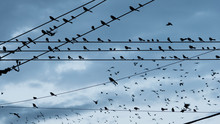 Large Flock Birds On A Wire Ur...