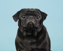 Portrait Of A Black Pug Lookin...