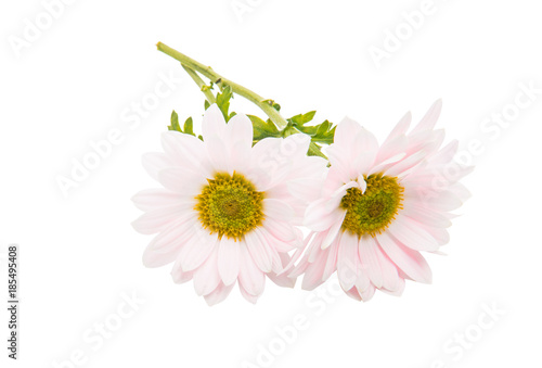 Foto op Canvas Madeliefjes pink chrysanthemum flowers on white background