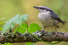 Eurasian Nuthatch Perched Near...