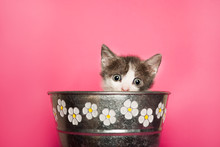 Beauty Baby Cat Sticking Out Retro Flower Pot On Pink Background