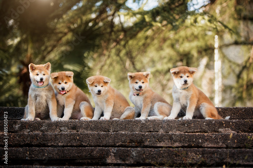 5 puppies of red New Year's Akita dogs sitting on stairs in nature at sunlight Wallpaper Mural