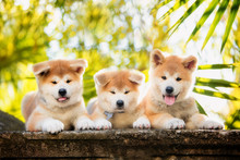 5 Puppies Of Red New Year's Akita Dogs Sitting On Stairs In Nature At Sunlight