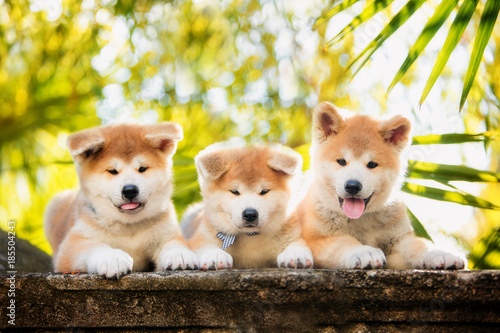 Photo 5 puppies of red New Year's Akita dogs sitting on stairs in nature at sunlight