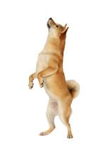 Shiba Inu Dog Standing On Hind...