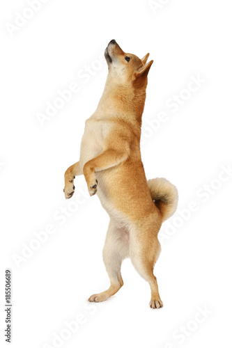Shiba inu dog standing on hind legs Wallpaper Mural
