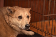 Beige Dog In A Shelter In A Cage