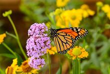 Monarch Butterfly - A Monarch ...