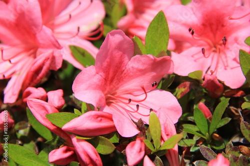 ツツジの花部分(宮城県)