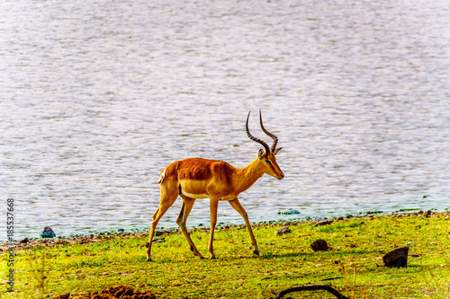 Foto auf Leinwand Elefant Male Impala at a watering hole in Kruger National Park in South Africa