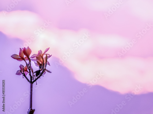 Poster Rose clair / pale The silhouette of Plumeria flowers with the golden sky and sunset