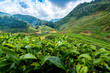 Landscape of tea plantation at Doi Angkhang Chiangmai northern Thailand
