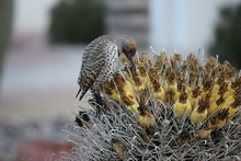 Desert Birds Tend To Be Much M...