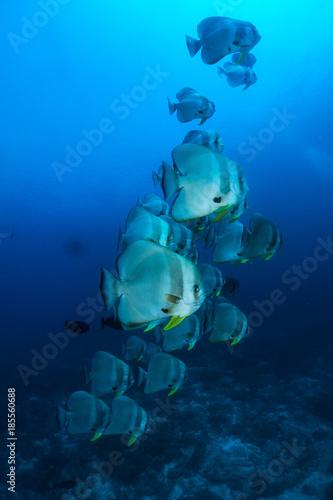 Plakat nurkowanie z dużą szkołą batfish na Malediwach