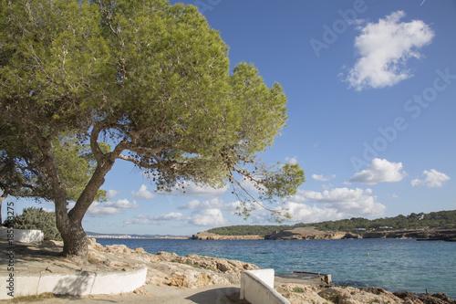Fototapeta Pine Tree at Cala Bassa Cove Beach; Ibiza obraz na płótnie