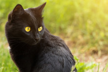 Beautiful Bombay Black Cat Por...