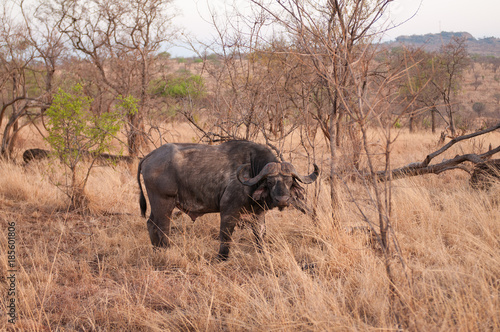 Staande foto Buffel Closeup of Buffalo (scientific name: Syncerus caffer or