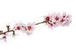 flor del cerezo fondo blanco